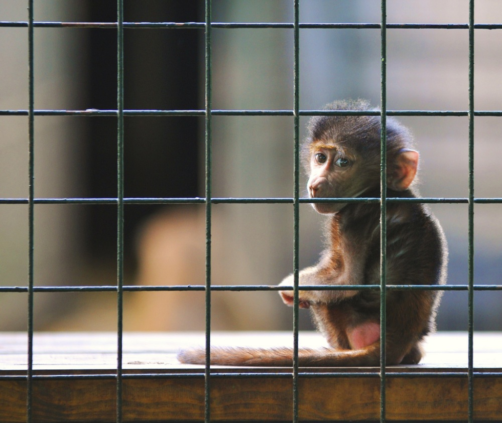 the negative effects of captivity on zoo animals Reasons why people think keeping animals in zoos is bad for their welfare: do not compensate the individual animals for the negative effects of living in a zoo.